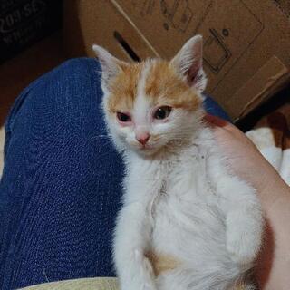 子猫の里親募集(キジシロ 里親さま決まりました。)(茶白 里親さま決まりました。)の画像