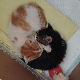 子猫の里親募集(キジシロ 里親さま決まりました。)(茶白 里親さま決まりました。) - 猫