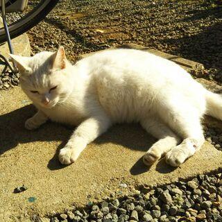 野良の白猫(避妊済み)激烈なつっこい