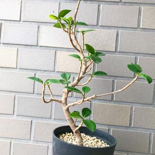 【ネット決済】超良型! パンダガジュマル  観葉植物
