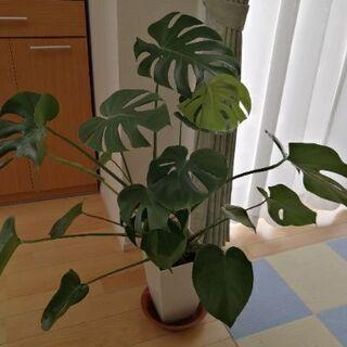 【ネット決済】モンステラ 観葉植物