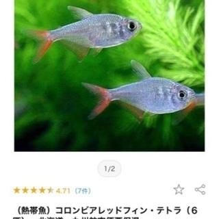 コロンビアレッドフィン・テトラ 魚 熱帯魚