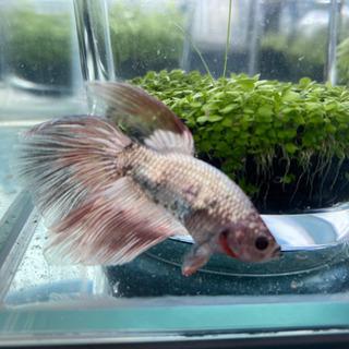 12月生まれベタのオス、熱帯魚です。