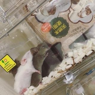 マウスの男の子♂可愛がってくださる方募集しております