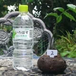 リュウビンタイ 天然の溶岩軽石鉢に植付 2
