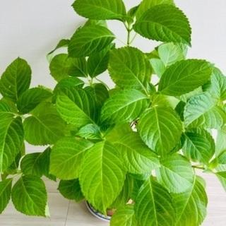 ((´∀`*))ヶラヶラ◆◆観葉植物◆◆ ❷❷紫陽花