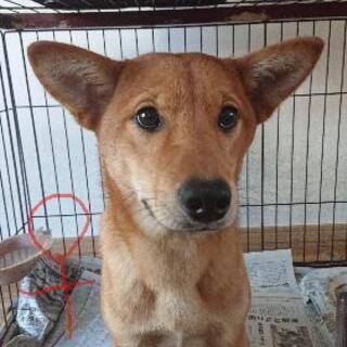子犬  和犬ミックス  3頭    10ヶ月