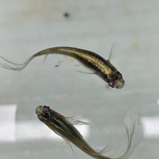 【お取引中】ヒレ長黒幹之の幼魚
