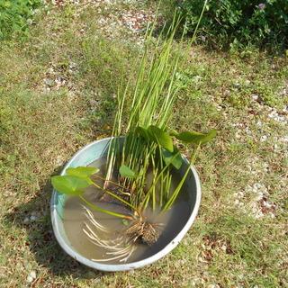 【完売のため予約受付中】ビオトーブ用 水辺植物 コウホネ サンカ...