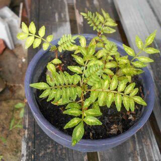 植物 山椒 ガーデニング トゲあり 小 花 庭 園芸
