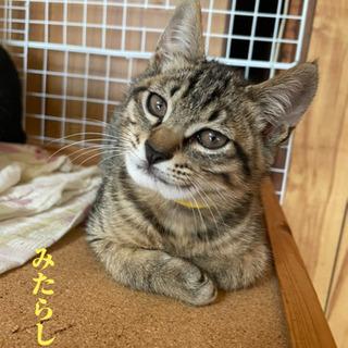 キジトラ猫:みたらしくん - 明石市