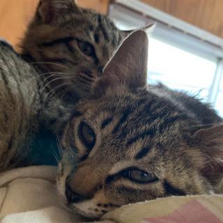 キジトラ猫:みたらしくん − 兵庫県