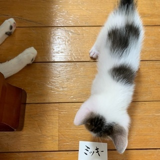 ミッキーマウスの模様の可愛い子猫。貰って下さい❣️
