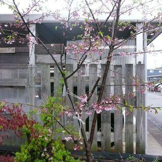 桜の木高さ4m、価格相談可 根元太さ径8センチ程