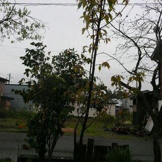 桜の木 価格相談可 高さ3m、根元太さ径5センチ程