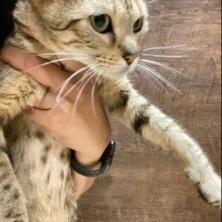 ベンガル猫 メス2頭(母娘)