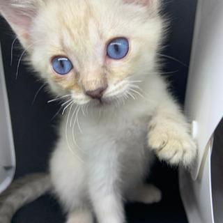 青い目のシャム風仔猫ちゃん💕トライアル決定