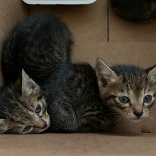 仔猫 保護 キャンセルが出たので1匹だけ再募集(メス)交渉中