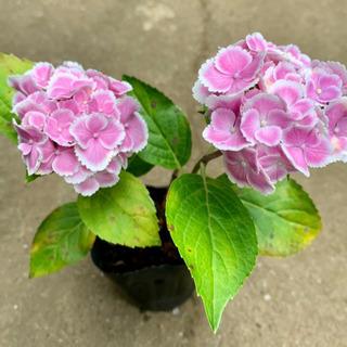 【ネット決済】縁白ふりふり♪ 紫陽花 植物苗 希少 根つき 大人気