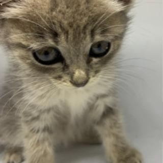 可愛いサバキジ仔猫ちゃん💕トライアル決定