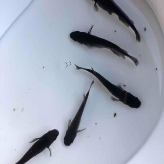 ☆オロチメダカ☆ 稚魚30匹