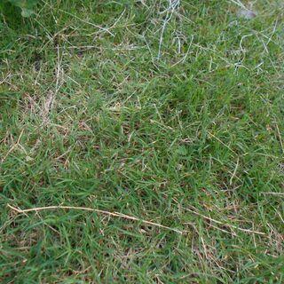 グランドカバー用 西洋芝 暖地型 バミューダグラス 踏み付けに強い