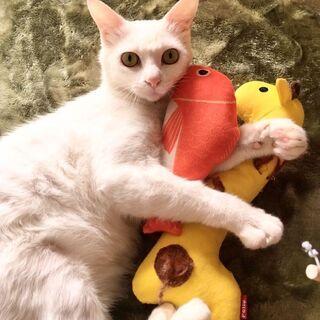 人懐っこい1歳の白猫の男の子です!家族を募集します!!!