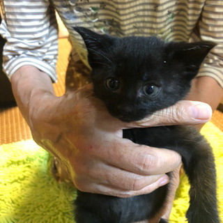 子猫 里親募集 黒猫 キジ猫 生後45日