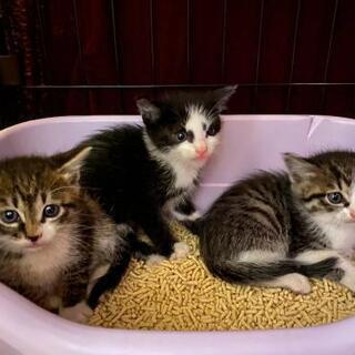 受付停止中☆3兄弟 の子猫