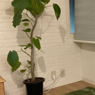 【ネット決済】フィカス ウンベラータ 観葉植物