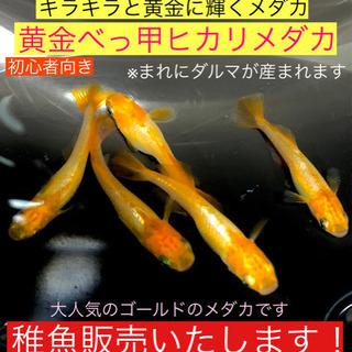 メダカの稚魚販売します❶❼黄金べっ甲ヒカリメダカ❤️銀帯ありの黄金