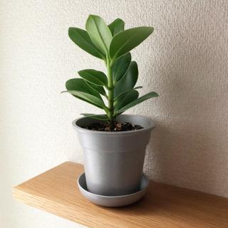 観葉植物 クルシア・ロゼア 23cm グレーカラーの3.5…