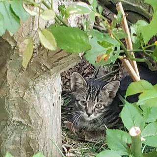 【キジトラ2匹】約1か月前に生まれた近所の野良猫の子猫です