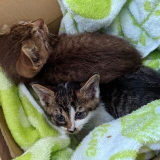2匹の保護子猫の里親募集します!(生後推定1ヶ月半)