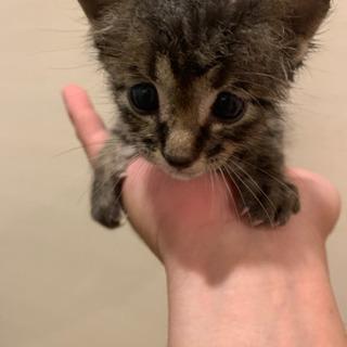 【お話し中】生後2週間の子猫245g。動物病院済み!