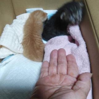 生後2、3週間の子猫です