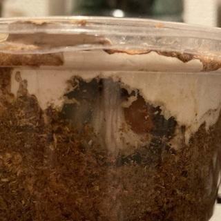 国産カブトムシ成虫、ノコギリクワガタの幼虫、蛹