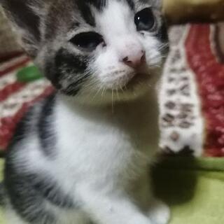 ★再投稿★4月27日生まれの子猫1匹メス 飼い主様募集です
