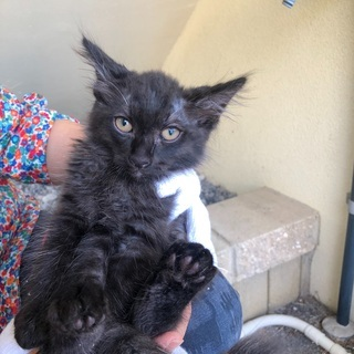 月齢2ヶ月子猫(黒オス)里親募集中