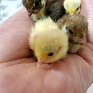 ヒメウズラの雛がたくさん生まれました