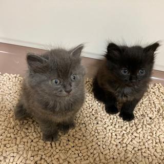 黒猫ちゃん 里親募集 2ヶ月
