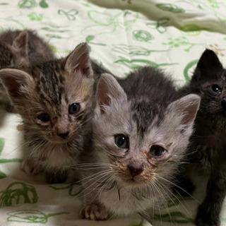 1ヶ月未満の子ネコ(保護猫)