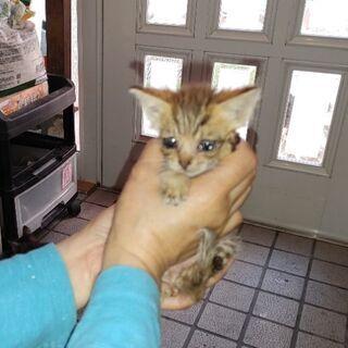 生後1ヵ月半位の子猫