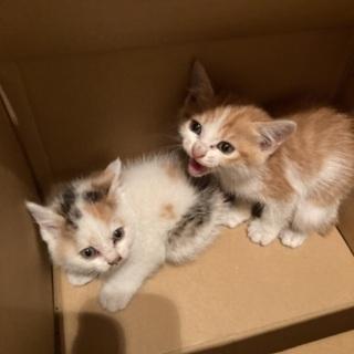 推定1ヶ月半未満の仔猫2匹 どちらもメス