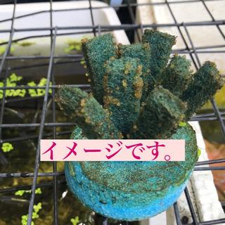 めだか楊貴妃パンダダルマ半ダルマ混泳卵付産卵床 - 知多市