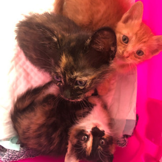 かわいい兄妹子猫生涯可愛がってくださる方