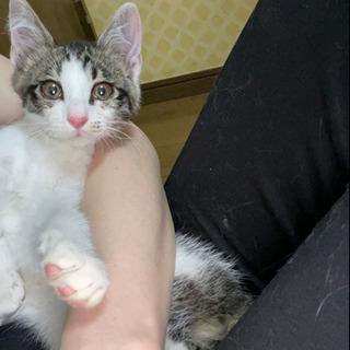 キジシロのひじきくん 3ヶ月の兄弟猫さんです※トライアル中