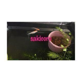【ネット決済】メダカのたまご 針子 稚魚(10匹)