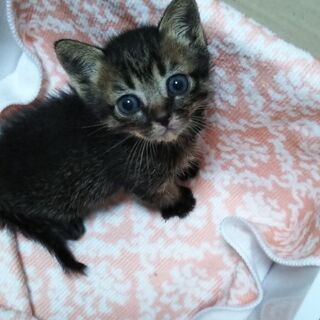 子猫3週~4週位 メス