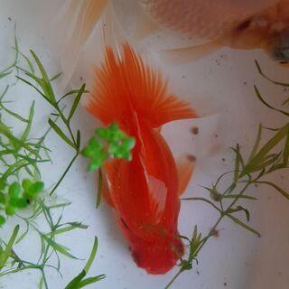 高級金魚 蝶尾 1ペア